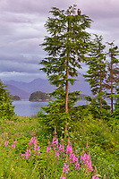 Fireweed along the shores of the coastal community of Sitka, Alaska