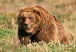 Grizzly or brown bear, Kodiak Island, Alaska