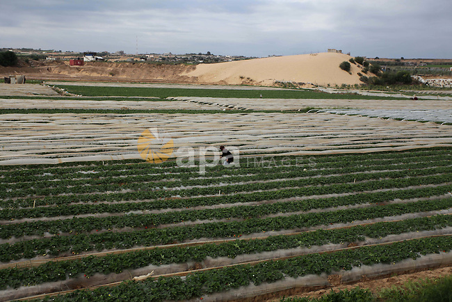 A Palestinian woman harvests strawberries from a field in Beit Lahia, in the northern Gaza Strip, on December 10, 2013. Some 250 acres of strawberry crop are cultivated in these fields yielding some 2500 tons of fruit, some of which will be exported to European countries, helping the stagnant economy of the enclave. Photo by Ashraf Amra
