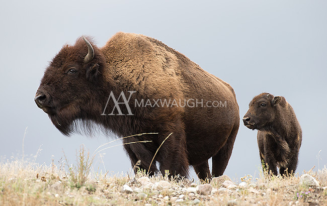 A watchful bison cow and calf photographed in Yellowstone.