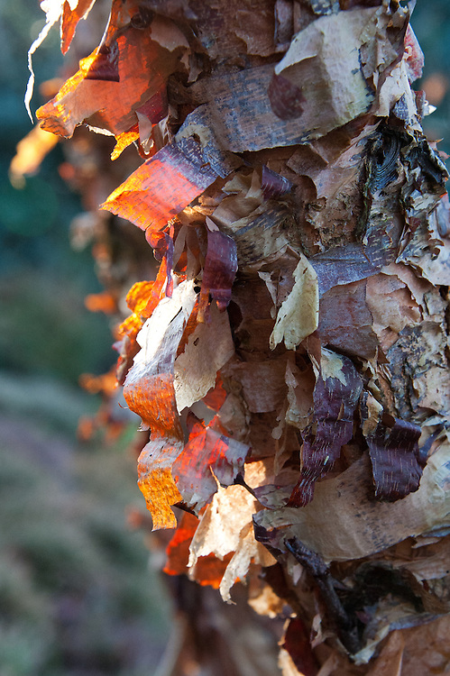 Peeling bark of the Black or River birch, Betula nigra 'Little King', early November.