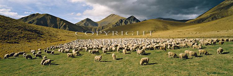 Sheep on Dalrachney Station. Lindis Pass. Otago Region. New Zealand.