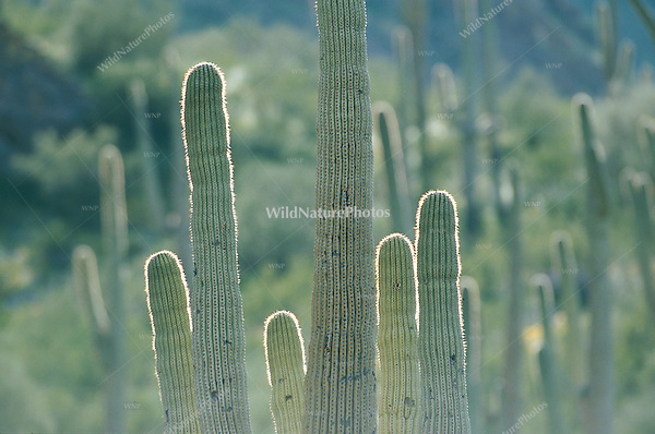 Backlit Saguaros in the Sonoran Desert; Arizona