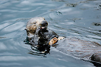 Southern Southern sea otter, Enhydra lutris nereis, feeding, Monterey, California, USA, Pacific Ocean, national marine sanctuary, endangered species