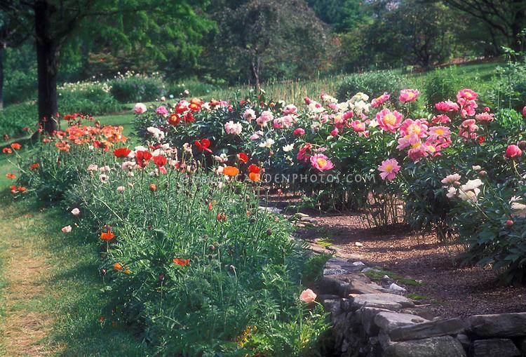 Peony and Poppy flowers garden in June | Plant & Flower Stock ...