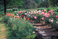 Paeonia peonies with Papaver poppies in spring, June, planted together in full flower, cream, pink, red, orange variety of colors, garden scene, tiered garden beds with rock wall along slope hillside