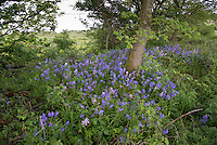 Bluebells near the Solway Firth , Annan, Dumfries, Scotland.