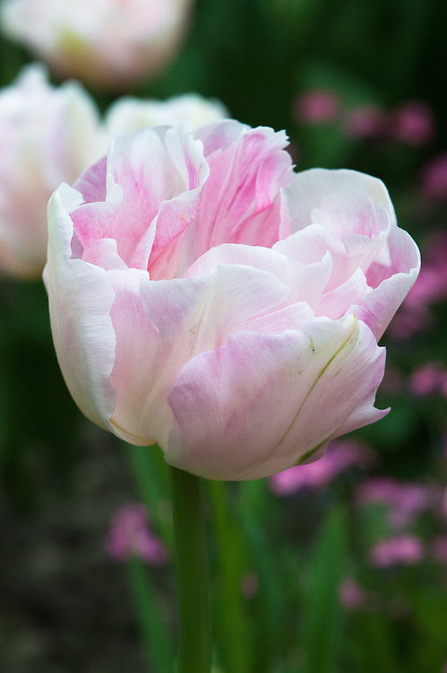 Tulip 'Angelique', late April. Pink flushed with green. A sport of 'Granda' raised in 1959 by D. W. Lefeber.