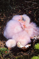 559312005 a newly hatched merlin chick falco columarius calls while sitting with its nest mates on a raptor nest in the northwest territories near whitefish lake in canada