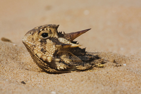 Texas Horned Lizard (Phrynosoma cornutum), adult hiding in sand, Rio Grande Valley, Texas, USA