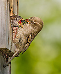 Female House Sparrow feeding young a bee