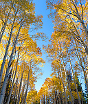 Gunnison National Forest, Colorado:  Morning sun illuminating autumn colored aspen (Populus tremuloides) canopy with blue sky