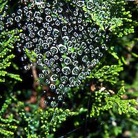 Raindrops, suspended in a spider's web in a juniper bush.