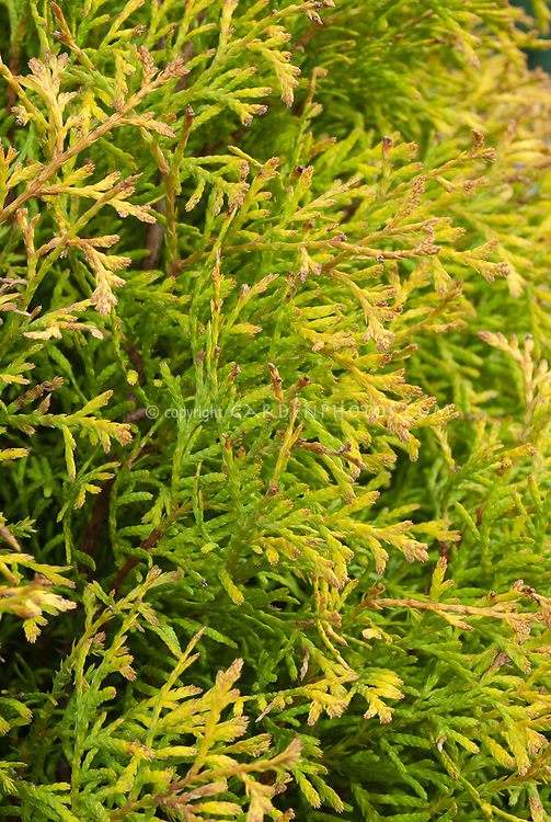 Arborvitae Thuja occidentalis 'Rheingold'  closeup of golden yellow foliage