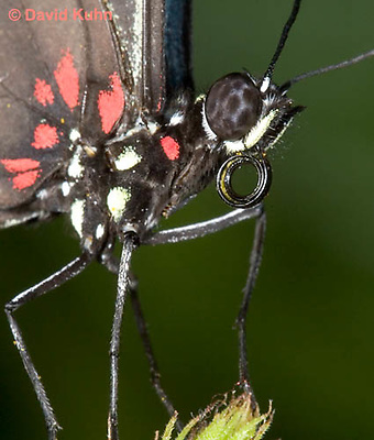 0401-08zz  Close-up of Sara Longwing, Detail of Proboscis Coiled Up, Small Blue Grecian, Heliconius sara, South and Central America © David Kuhn/Dwight Kuhn Photography
