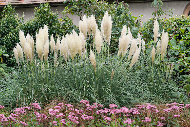 cortaderia selloana sedum 39 joyce henderson 39 plant. Black Bedroom Furniture Sets. Home Design Ideas