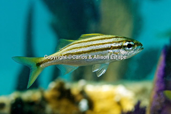 Haemulon chrysargyreum, Smallmouth grunt, juvenile, Florida Keys