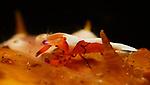 Emperor Shrimp, Periclemenes imperator, Lembeh Straits, Sulawesi Sea, Indonesia, Amazing Underwater Photography