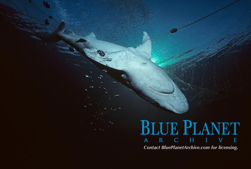 silvertip shark, Carcharhinus albimarginatus, caught in commercial fishing net, Egypt, Red Sea, Indian Ocean