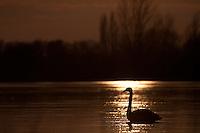 Swan on a frozen lake at sunset. Kraaijenbergse plassen, the Netherlands.