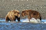 Brown Bears Fighting in River