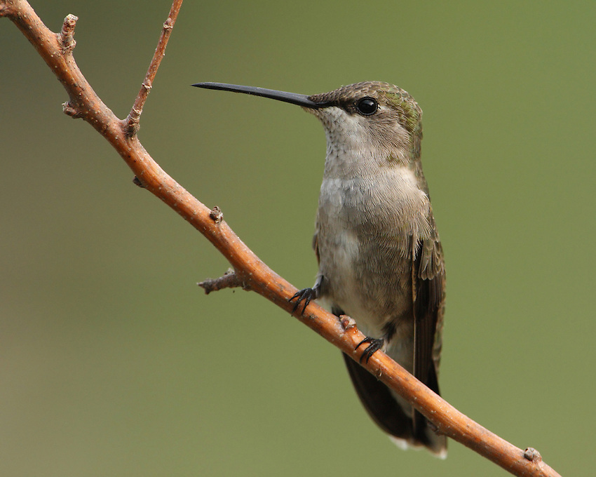 Black-chinned female during a morning moment of rest, as she begins her busy day.