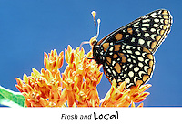 Baltimore checkerspot butterfly, with proboscis in butterfly weed drinking nectar from flowers, Midwest USA