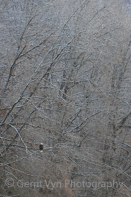 Bald Eagle (Haliaeetus leucocephalus) perched in riverside cottonwoods. Southeast, Alaska. December.