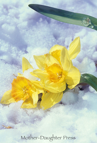 Daffodils or jonquils in late season snow