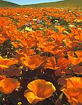 California poppies stretch toward the horizon in the Antelope Valley of California.