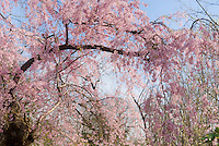 Prunus subhirtella Pendula, Weeping Higan Cherry tree in pink spring bloom