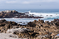 United States, California, Monterey. Asilomar State Beach with it's rocky coast on the Monterey Peninsula.
