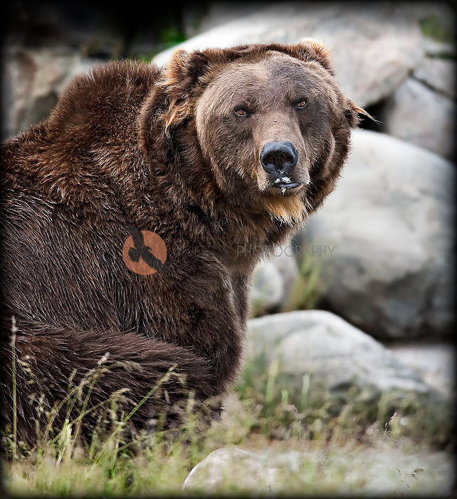 Large Grizzly Bear ( C ) adopted by Grizzly Discovery Center. Bear is sitting on haunches with face toward camera