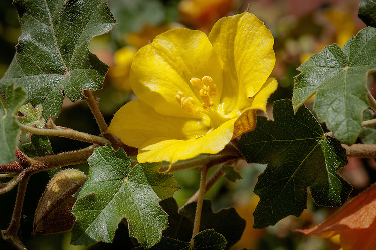 Fremontodendron 'California Glory', mid May. A large evergreen shrub with rich yellow flowers from late spring to early autumn, commonly known as Flannel bush.