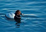 Common pochard, Aythya ferina, male, calling, floating on pond water, swimming.