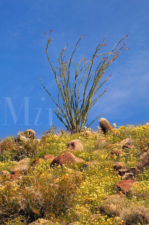Wildflowers including Arizona Lupine (Lupinus arizonicus), Desert Gold Poppy or Goldenpoppy (Eschscholzia glyptosperma) Brittlebush (Encelia farinosa) Ocotillo  (Fouquieria splendens) and a variety of cactus, Anza-Borrego Desert State Park, California
