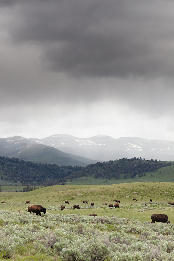 Bison graze and rest in the hills underneath a heavy rainstorm.