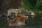 gray wolf watching brown bear fish for salmon