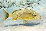 Carangoides bartholomaei, Yellow jack, Bonaire