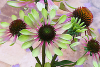 Echinacea purpurea Green Envy coneflower in flower and bud