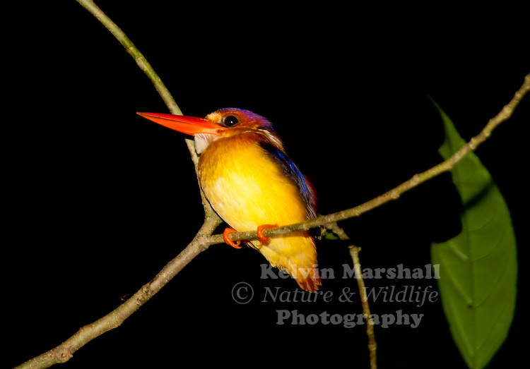 The Oriental Dwarf Kingfisher also known as the Black-backed Kingfisher (Ceyx erithaca) is a species of bird in the Alcedinidae family. Small red and yellow kingfisher, yellow underparts with bluish-black upperparts. This is a widespread resident of lowland forest. It is found in Bangladesh, Bhutan, Brunei, Cambodia, China, India, Indonesia, Laos, Malaysia, Myanmar, Singapore, Sri Lanka, Thailand, and Vietnam.
