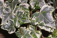 Hedera helix 'Ivy Mint Kolibri' aka Minty