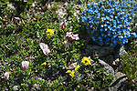 Alpine Forget-me-not, Eritrichum aretiodes, Borage Family, dwarf clover, dwarf wallflower, wildflower, Trail Ridge, alpine, tundra, summer, July, day, morning, Rocky Mountain National Park, Colorado, USA