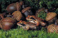 Wood Frogs (Rana sylvatica), distinguished by a dark brown mask on the sides of the head, are the most northerly amphibian in the world and most widespread amphibian in North America.  Summer. Nova Scotia, Canada.