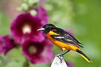 Baltimore Oriole in spring plummage; Illinois
