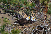 Bald Eagle Nest (Haliaeetus leucocephalus)--with both adults on nest in tall ponderosa pine tree.  Oregon.  April.