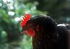Hen<br /> <br /> Gallina<br /> <br /> Henne<br /> <br /> Original: 35 mm slide transparency
