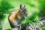 A chipmunk seen at Avalanche Lake in Glacier National Park, Montana.