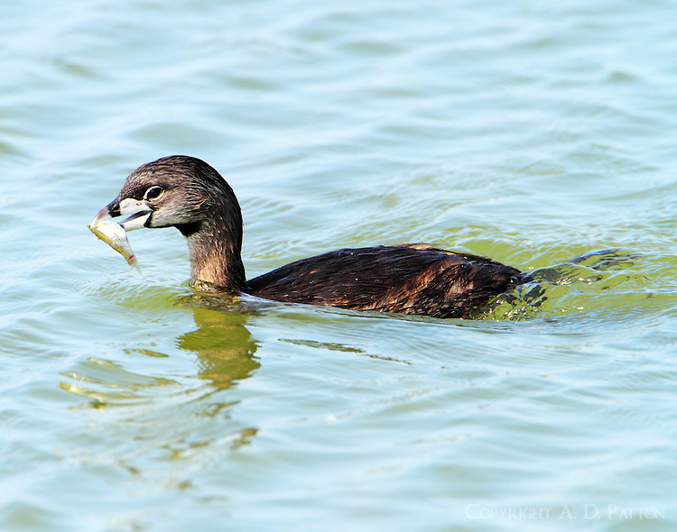 Pied-billed grebe with fish to feed chicks