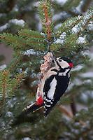 Buntspecht, Männchen an der Vogelfütterung, Fütterung im Winter bei Schnee, am Meisenknödel, Fettfutter, Winterfütterung, Bunt-Specht Specht, Dendrocopos major, Great Spotted Woodpecker, Pic épeiche